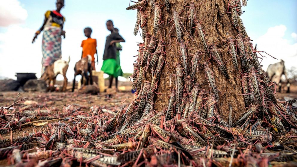 New, larger wave of locusts threatens millions in Africa ...