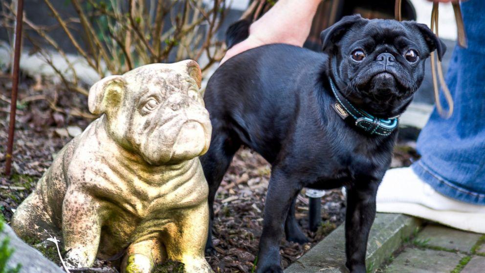 In this Wednesday, Feb. 27, 2019 photo pug dog Edda is pictured in Duesseldorf, Germany. Officials in Germany are defending their decision to seize an indebted family's pet pug and sell it on eBay, saying the move was a last resort because authorities were unable to find anything else to take. (Mikko Schimmelfeder/dpa via AP)
