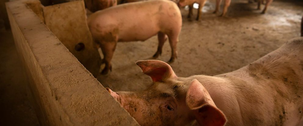 In this May 8, 2019, photo, pigs stand in a barn at a pig farm in Panggezhuang village in northern Chinas Hebei province. Chinese agriculture officials are launching a nationwide initiative to boost pork production following a price spike blamed on