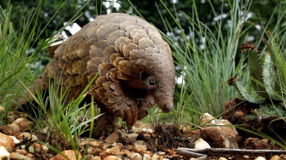 In this photo taken on Friday, Feb. 15, 2019, a pangolin looks for food on a private property in Johannesburg, South Africa. As World Pangolin Day is marked around the globe, Saturday, some conservationists in South Africa are working to protect the endangered animals, including caring for a few that have been rescued from traffickers. (AP Photo/Themba Hadebe)