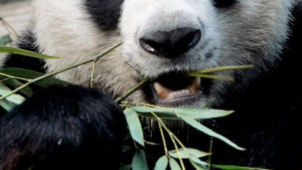Popular panda on loan from China dies in Thai zoo