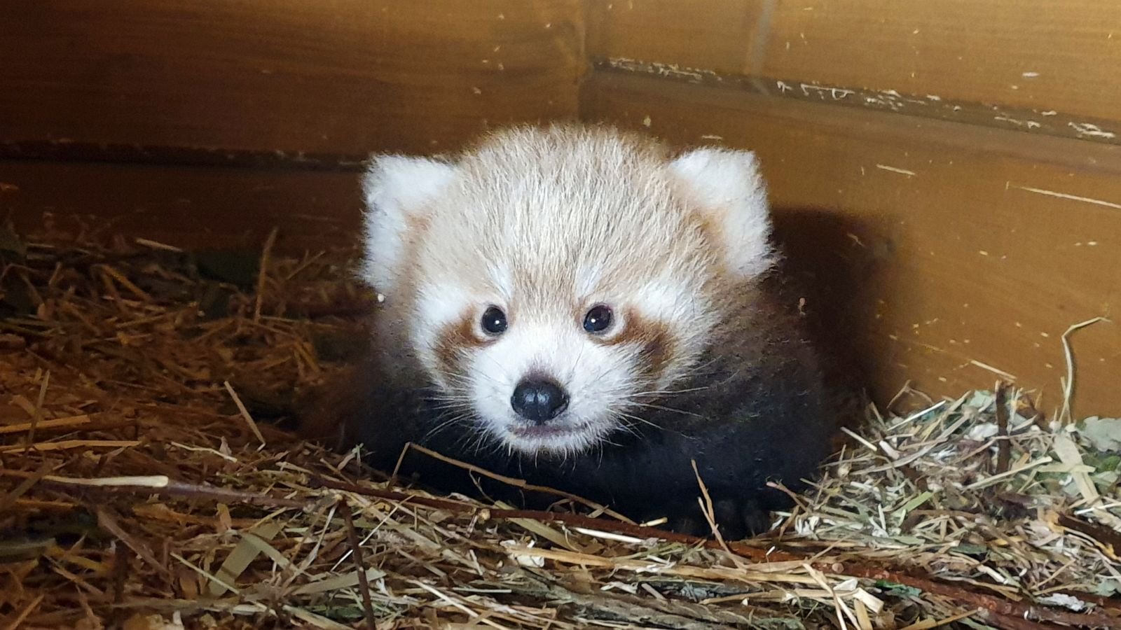 Red Panda Born In Berlin As Part Of Global Breeding Program Abc News