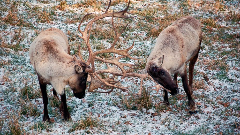 Groups to sue US agency over loss of caribou herd