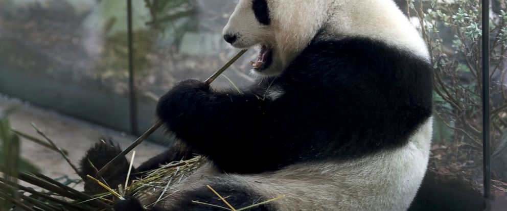 In this Friday, April 5, 2019 file photo taken trough a window female panda Meng Meng eats bamboo at its enclosure at the zoo in Berlin, Germany. The Berlin zoo announced that Meng Meng is probablypregnant after an artificial insemination several mon
