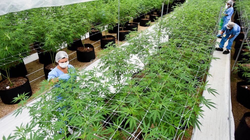2 firms first to export LatAm medicinal marijuana to Europe