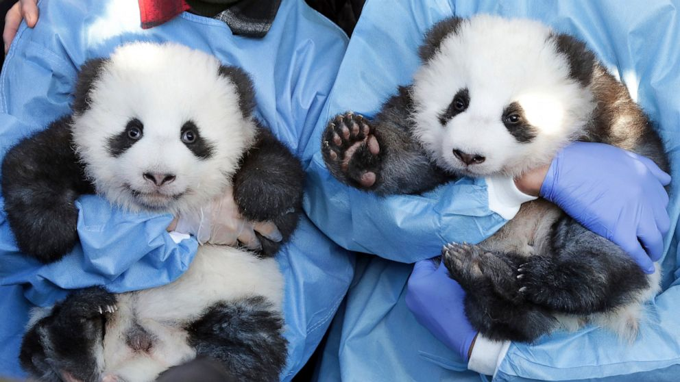 Zoo reveals names, gender of their 2 panda twin cubs