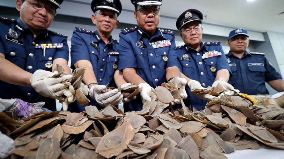 FILE - In this Aug. 2, 2017, file photo, seized pangolin scales are shown by a Malaysian Customs officials after a press conference at Customs office in Sepang, Malaysia. Malaysian authorities have seized a record 30 tons of pangolin and pangolin products in eastern Sabah state on Borneo, the biggest such bust in the country, a wildlife monitoring group said Tuesday. (AP Photo/Vincent Thian, File)