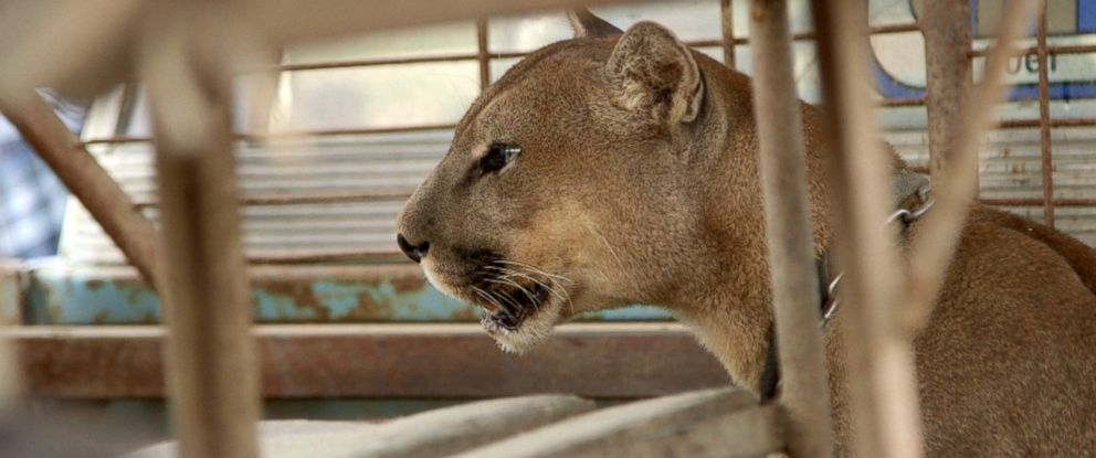Tim Phillips and Jan Creamer with Animal Defenders International (ADI) helped rescue this mountain lion and other animals from a circus in Peru.