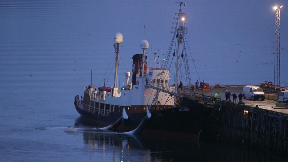 Icelandic company Hvalurs whaling station seen here bringing in fin whale kills.