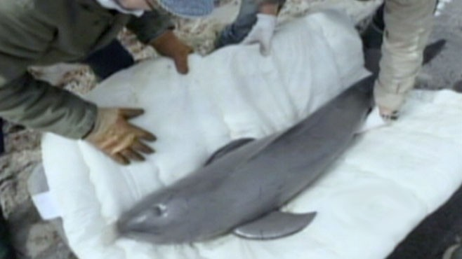 VIDEO: A Baby Porpoise is back home after being washed ashore during deadly Tsunami.