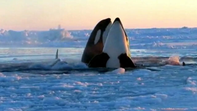 Killer whales trapped under canadian sea ice free themselves abc news photo a pod of killer whales have become trapped under ice in quebec canada voltagebd Gallery