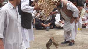 PHOTO In Afghanistan, Kowk fighting, which is illegal, is one of the most cherished sports.