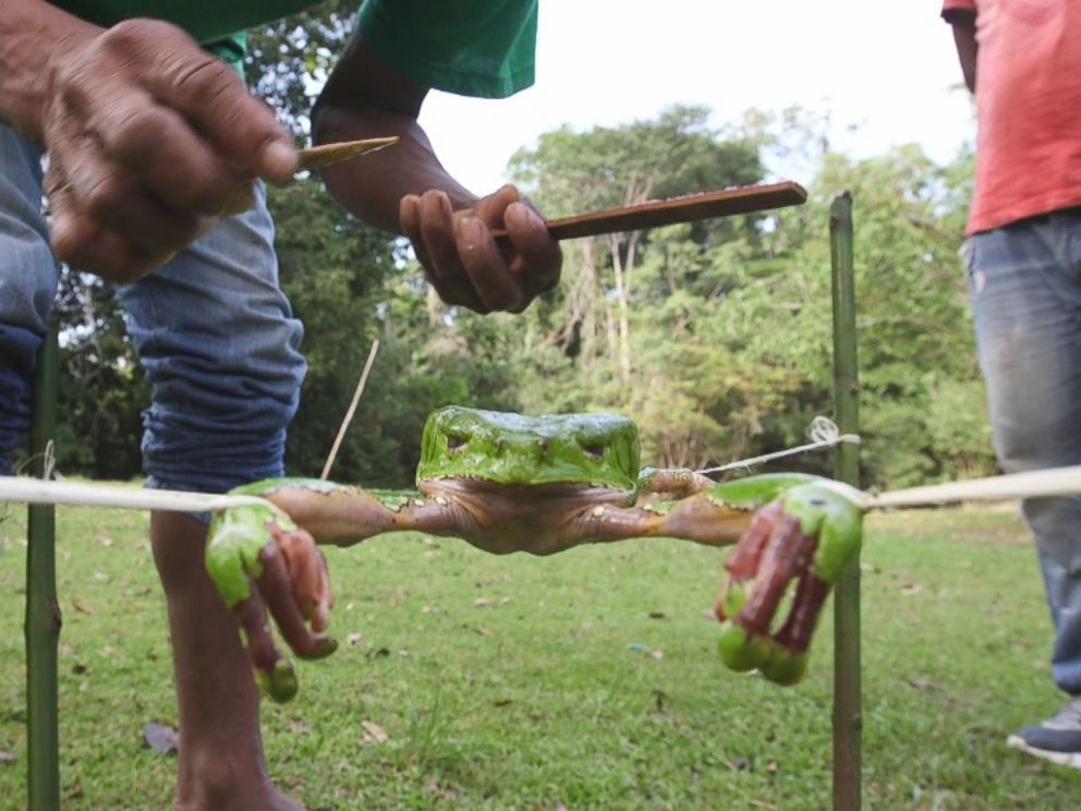 In order to extract the toxins from the frog, the guide places strings around each of its four feet and spreads the frogs body out between four sticks.