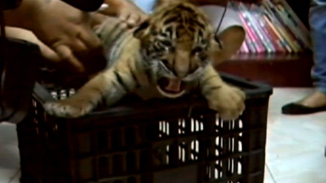 VIDEO: Police in Thailand arrested a driver trying to smuggle 16 tiger cubs.