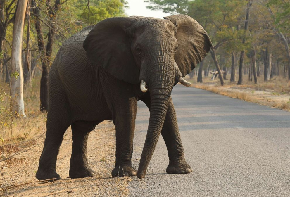 PHOTO: An elephant crosses the road in Hwange National Park, about 435 miles south west of Harare, Oct. 1, 2015, Zimbabwe.