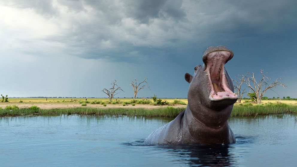 American Woman Attacked By Hippo After Boat Capsizes On Zimbabwe