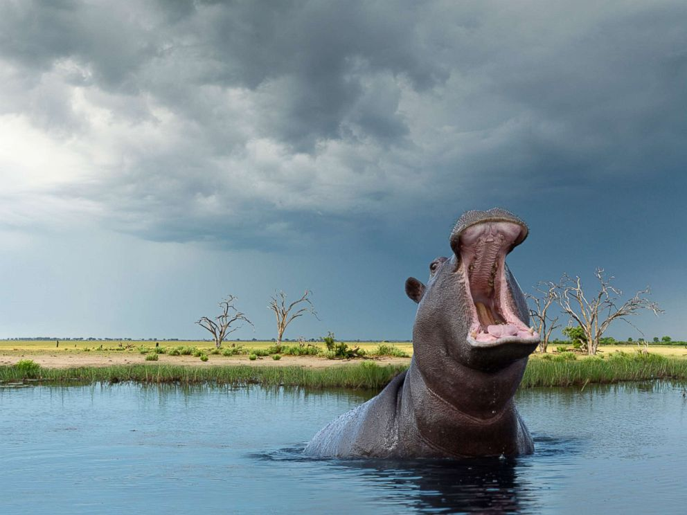 PHOTO: An African hippopotamus is seen in this stock photo.