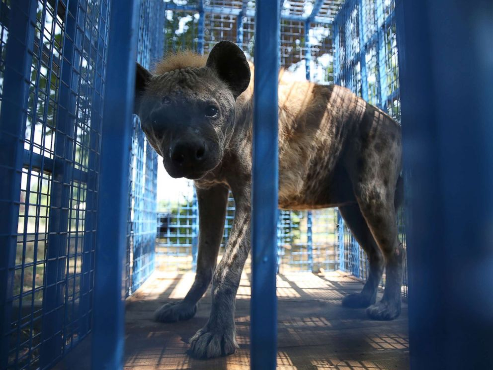 PHOTO: A rescued hyena from Syrias Aleppo zoo looks out from a cage in Bursa, Turkey, July 26, 2017.