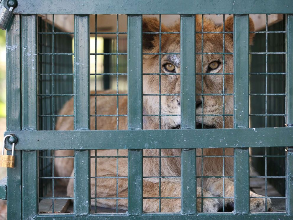 PHOTO: A lion looks out from his cage after being rescued from Syrias Aleppo zoo and arriving in Bursa, Turkey, July 26, 2017.