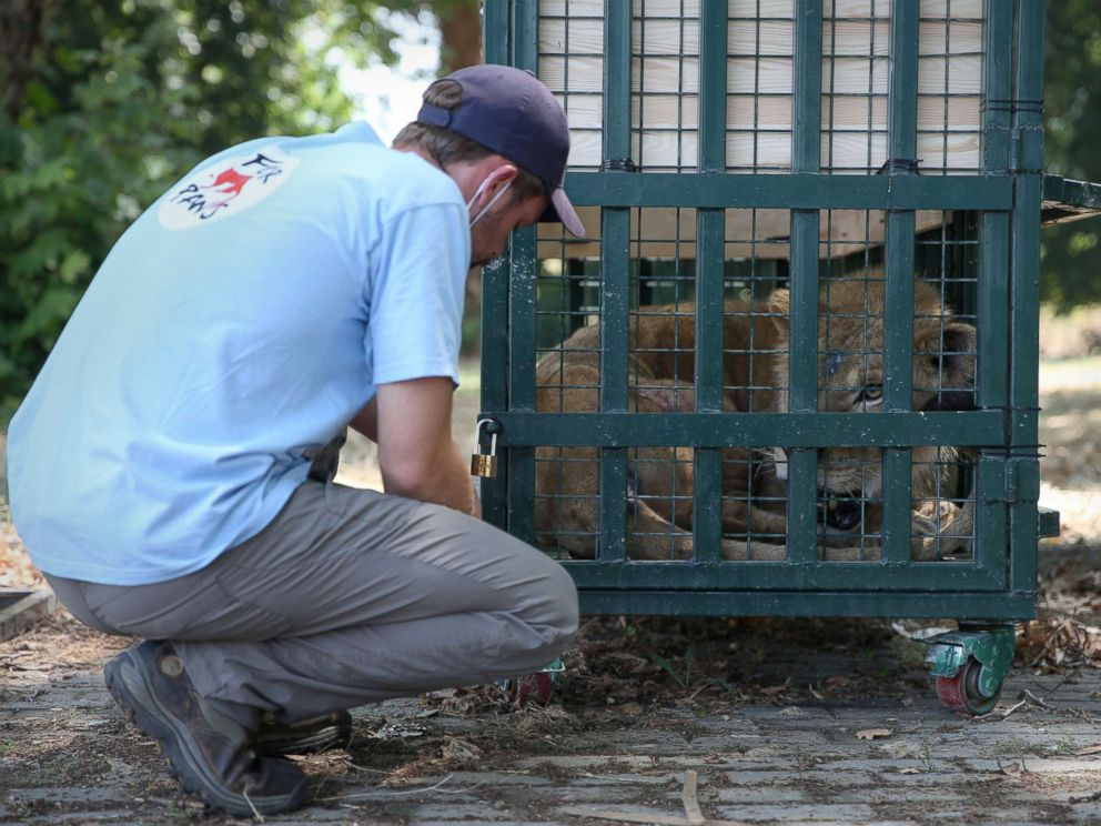 PHOTO: A member of Four Paws checks on a lion rescued from Syrias Aleppo Zoo in Bursa, Turkey, July 26, 2017.