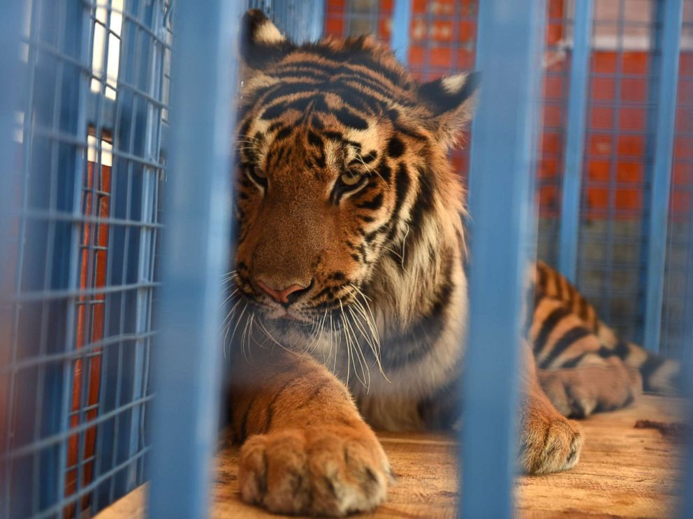 PHOTO: A tiger is loaded into a Turkish truck from a Syrian vehicle during transportation to Turkey after being rescued from Syrias Aleppo zoo.
