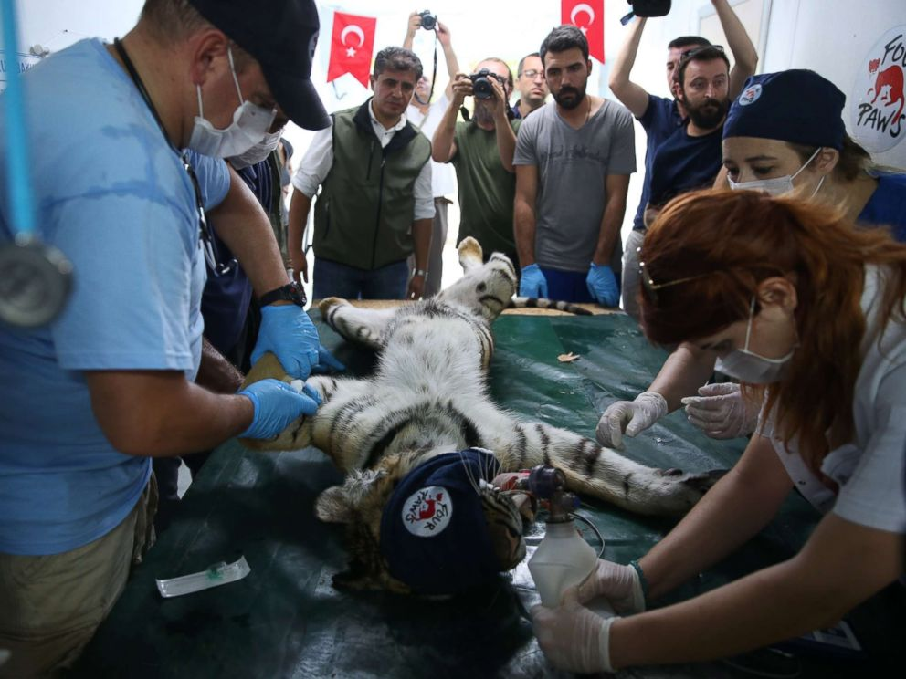 PHOTO: A tiger rescued from Syrias Aleppo zoo receives a medical treatment from members of Four Paws, in Bursa, Turkey, July 26, 2017.