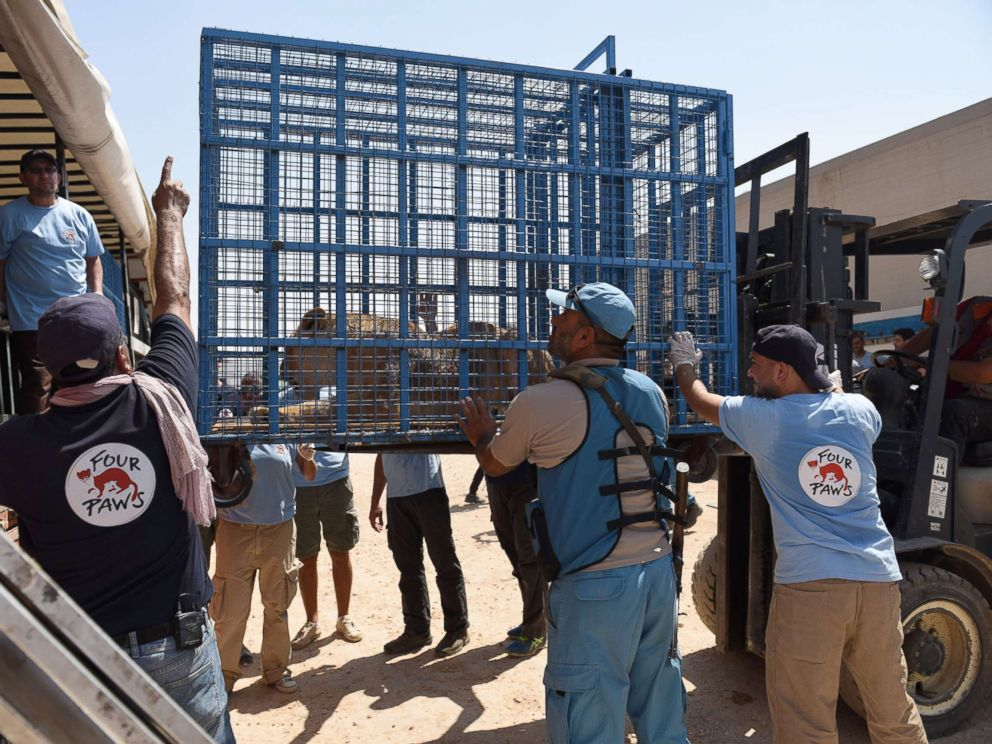 PHOTO: Several animals trapped in Syrias destroyed Aleppo zoo were rescued by members of Four Paws and transported to Turkey, July 21, 2017.