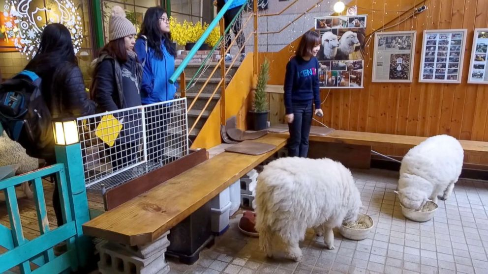 PHOTO: Cafes along Hongdae street in Seoul, South Korea let you interact with rabbits, sheep, raccoons and other animals.