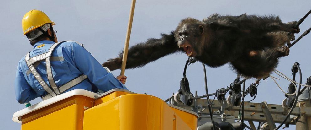 PHOTO: Chacha, the male chimp, screams at a worker in Sendai, northern Japan, April 14, 2016 after fleeing from a zoo.