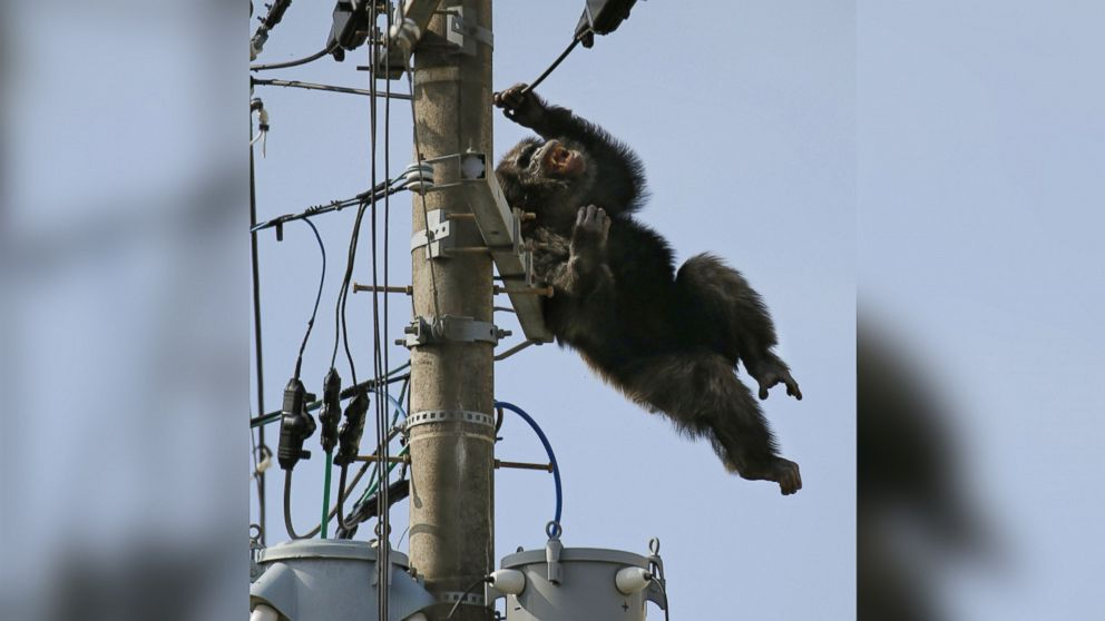 Chacha, the male chimp, falls off an electric pole, after being hit by a sedative arrow in Sendai, northern Japan, April 14, 2016.