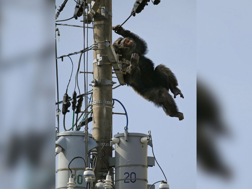 PHOTO: Chacha, the male chimp, falls off an electric pole, after being hit by a sedative arrow in Sendai, northern Japan, April 14, 2016.