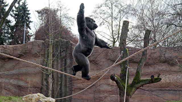 PHOTO: Gorilla Kidogo walking tightrope