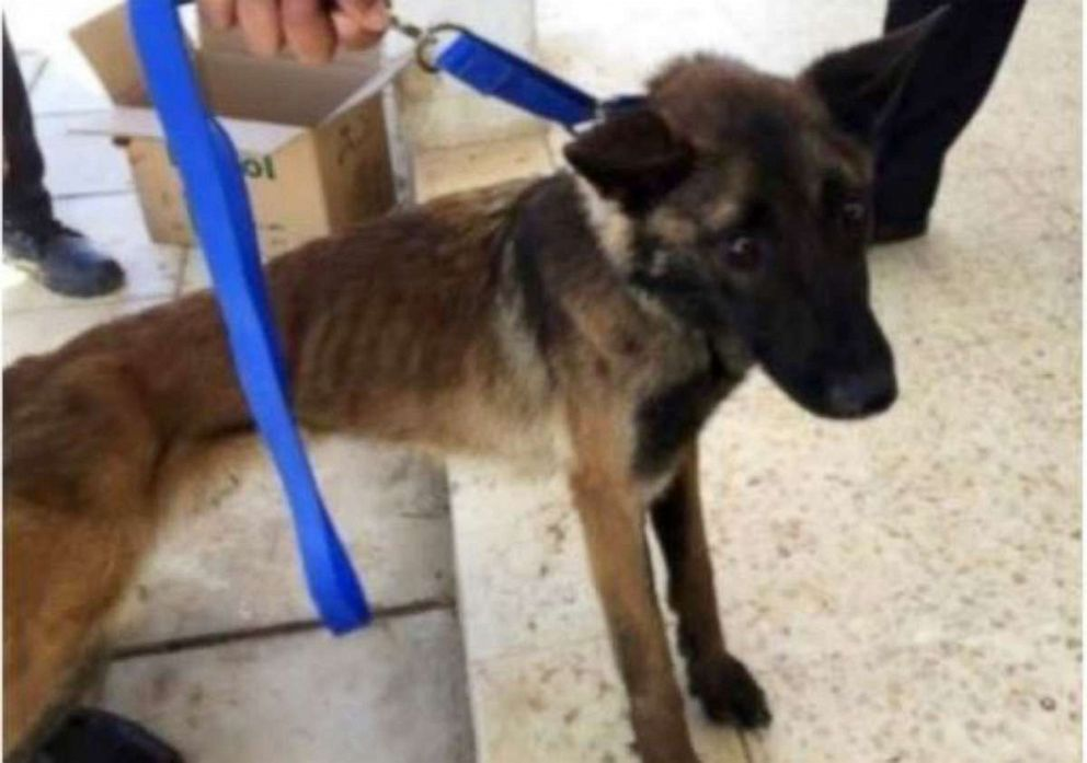 PHOTO: After a year working in Jordan, a U.S.-provided bomb-sniffing dog named Athena became emaciated, seen here in April 2018.