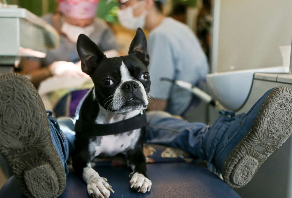PHOTO: Therapy dog Perry sits between the legs of a young, autistic patient during his dental appointment at the Los Andes University Medical Center on the outskirts of Santiago, Chile, April 28, 2017.