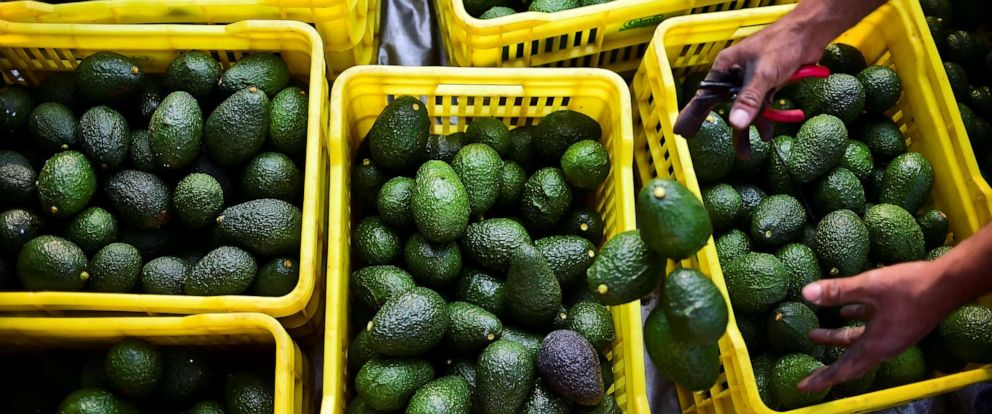 PHOTO: A farmer harvests avocados at an orchard in the municipality of Uruapan, Michoacan State, Mexico, Oct. 19, 2016.