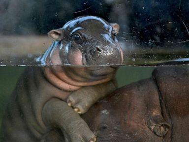 PHOTO: A baby pygmy hippo plays