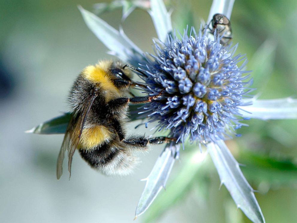 PHOTO: A Bumble Bee sits on a blue flower, Aug. 13, 2007, in this file photo.
