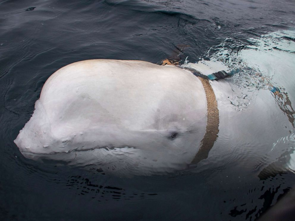 PHOTO: A beluga whale swims next to a fishing boat before Norwegian fishermen removed the tight harness, off the northern Norwegian coast, April 26, 2019.