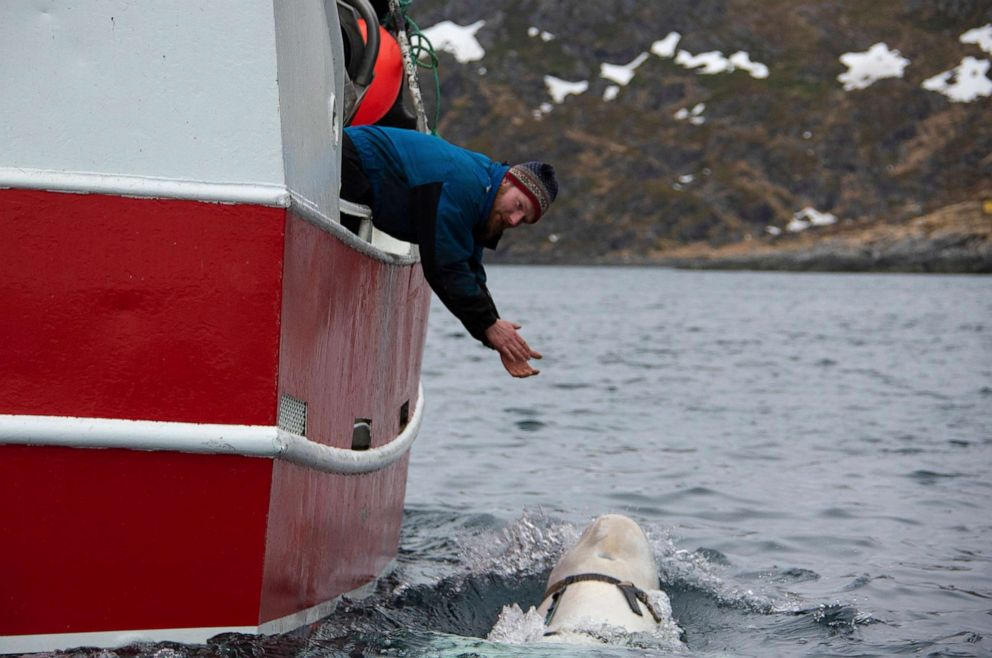 PHOTO: Norwegian fisherman Joar Hesten tries to attract a beluga whale swimming next to his boat off the northern Norwegian coast, before the Norwegian fishermen were able to removed the tight harness, April 26, 2019.