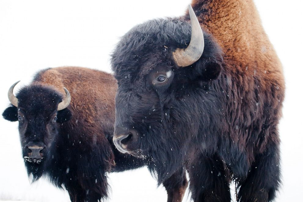 PHOTO: American bison.
