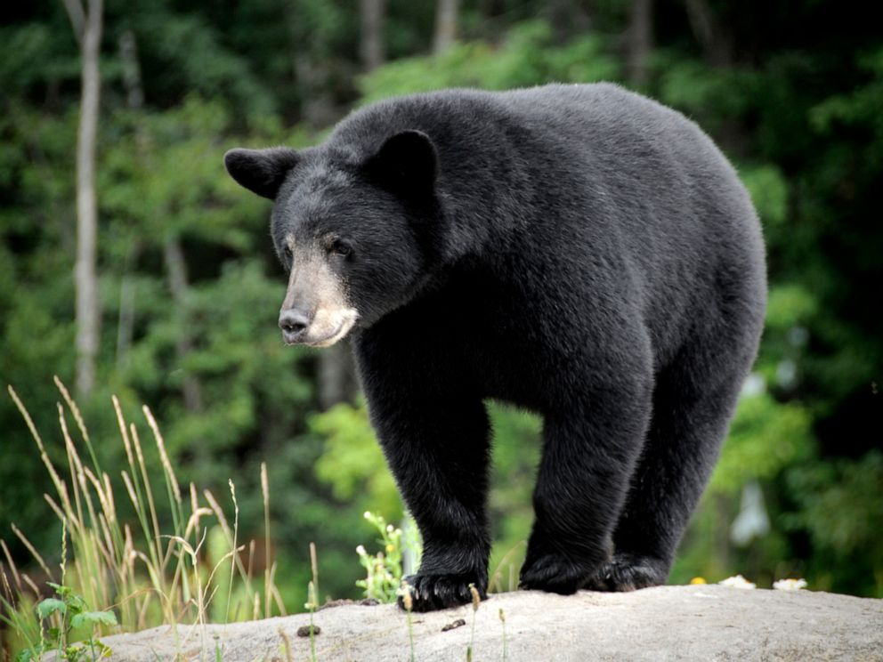 Police identify Minnesota woman who died in encounter with black bear