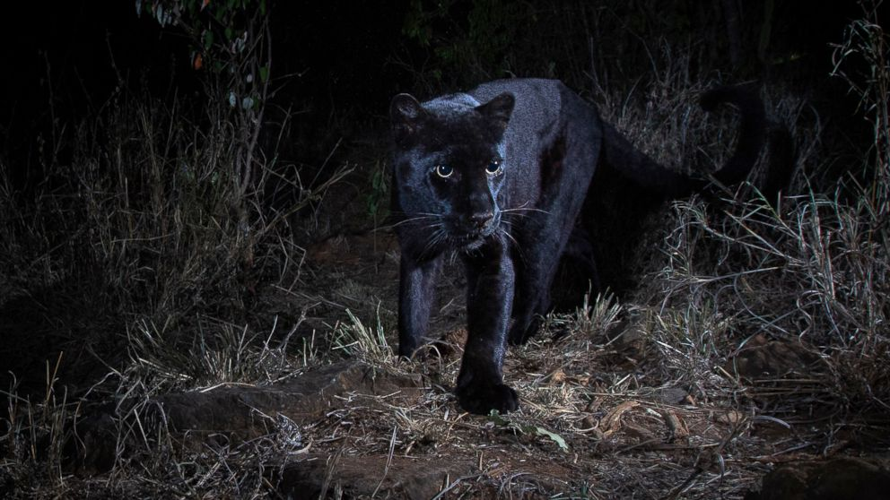 Photographer Will Burrard-Lucas captured images of a rare black leopard with a Camtraptions camera trap at the Laikipia Wilderness Camp in Kenya.