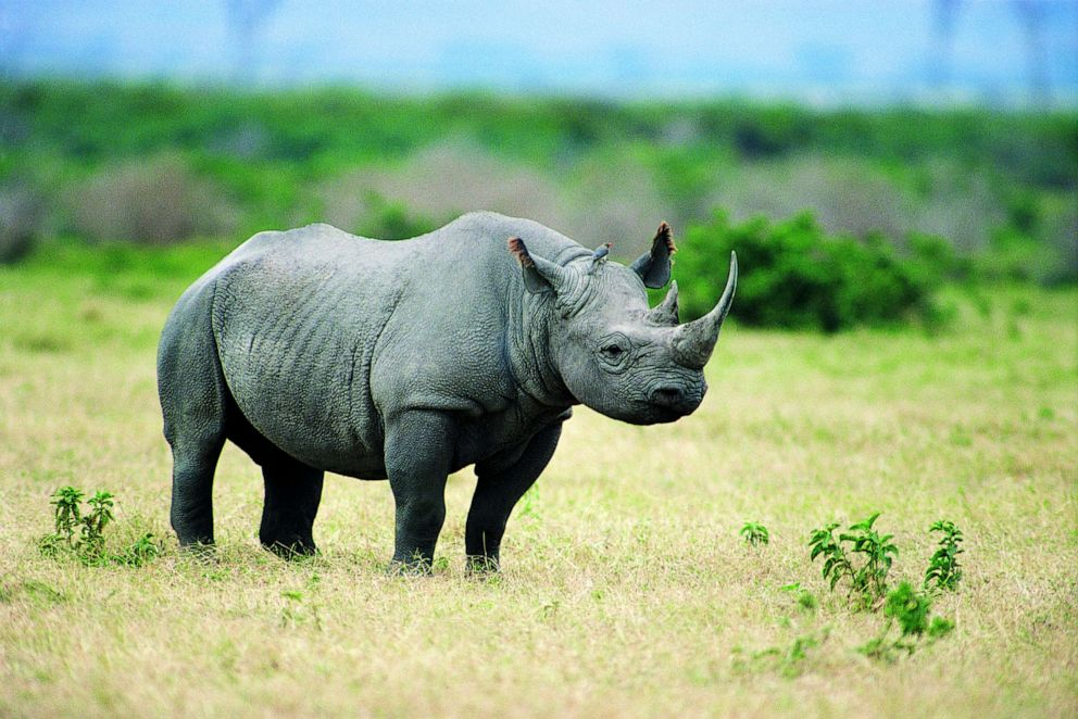 PHOTO: A black rhino is seen in this stock photo.