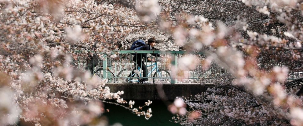 PHOTO: A cyclist bikes through cherry blossoms in bloom on a bridge in Tokyo, March 23, 2018.