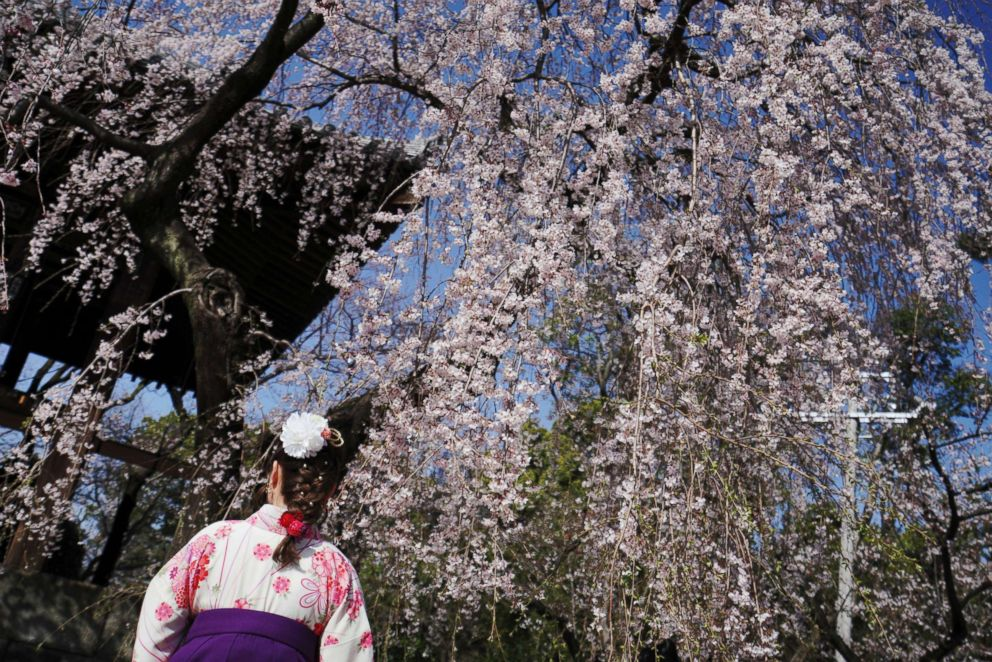 "A woman wearing a Japanese traditional clothing called ""hakama"" views the blooming the cherry blossoms overhead in Tokyo, March 22, 2018. The cherry blossom season marks the arrival of spring for the Japanese."
