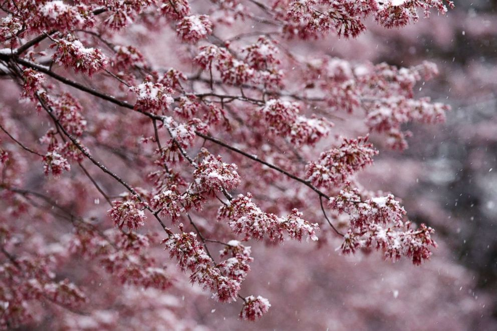 Snow falls on early blooming Cherry Blossom trees in Washington, D.C., March 21, 2018.