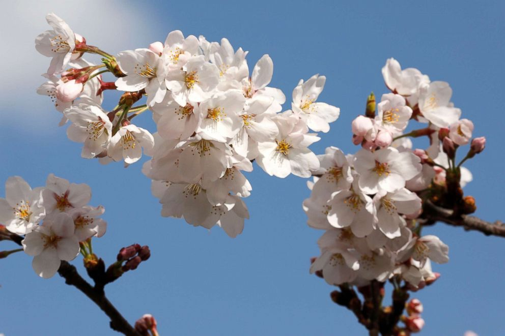 Image result for cherry blossoms
