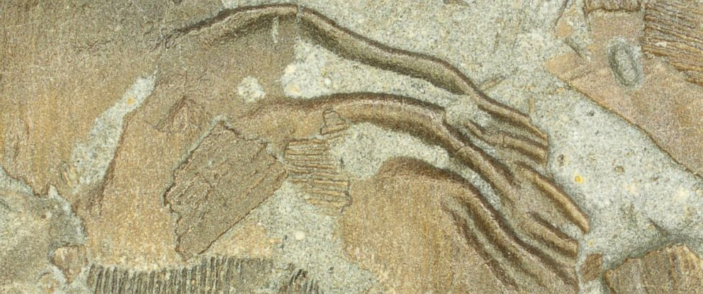 PHOTO: Fossilized skin with postmortem rippling.