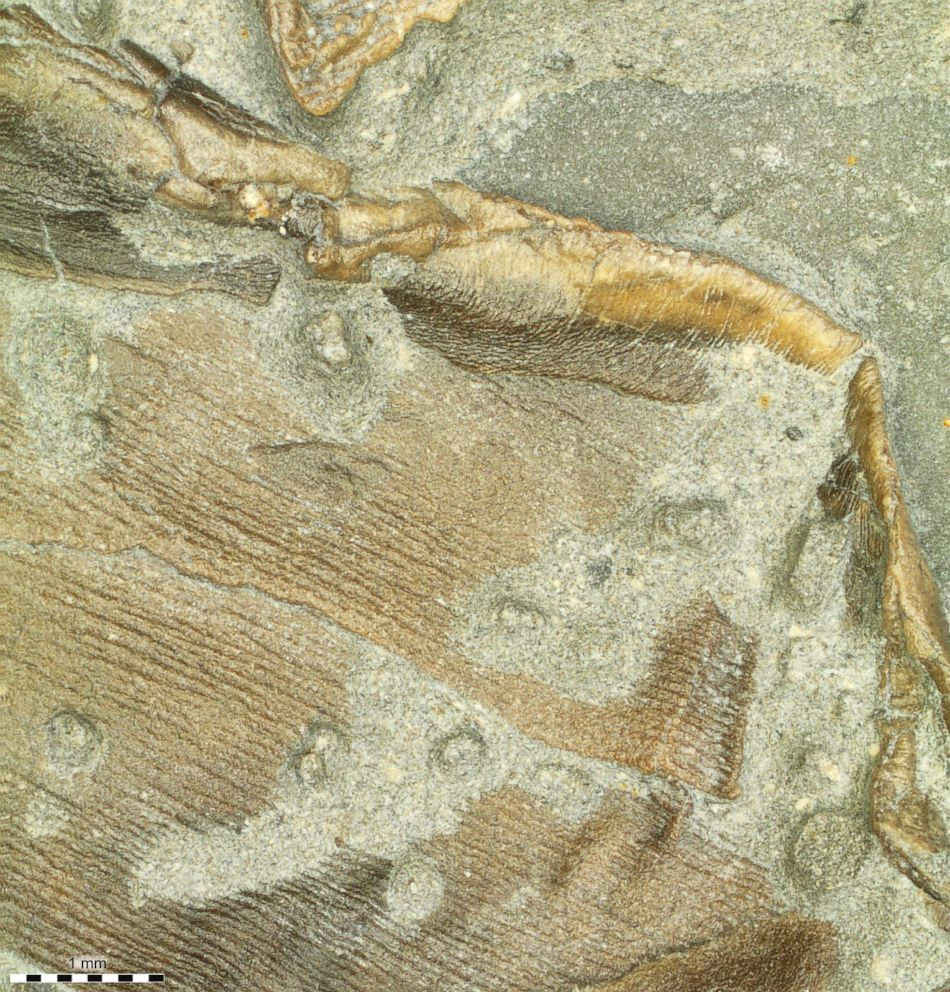 PHOTO: Fossilized skin forming the trailing edge of the right pelvic fin.