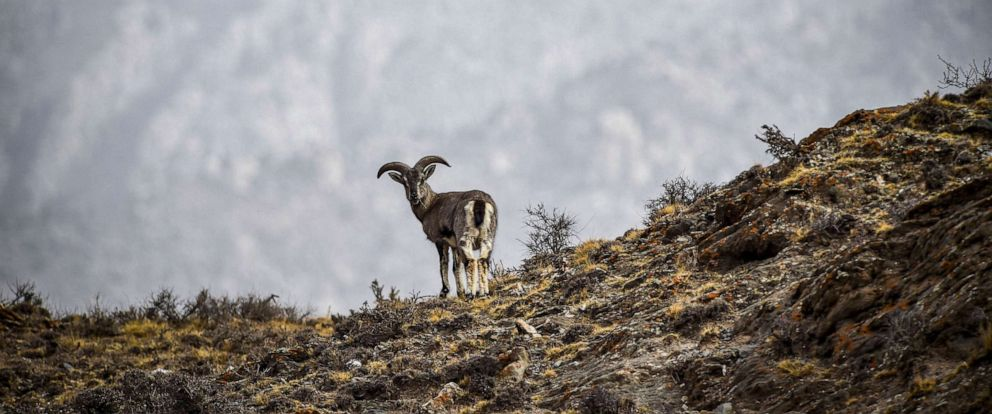 PHOTO: Bharal, also called the Himalayan blue sheep, stands by a cliff at the Helan Mountain National Nature Reserve in northwest Chinas Ningxia Hui Autonomous Region, March 27, 2019.